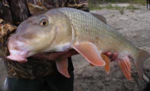 Aquashicola pohopoco watershed conservancy for Sucker fish food