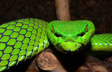 gumprecht s green pit viper this striking bright green