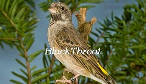 ciri-blackthroat-jantan_654200