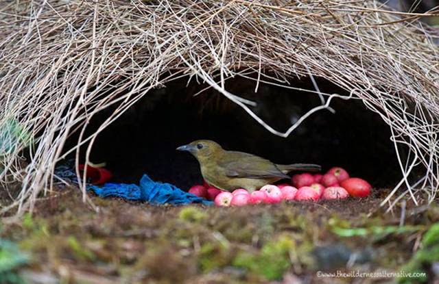 The males of these birds build small huts made of grass and sticks to attract females for mating. As these designers they decorate the home berries, insects and other bright elements. Oddly enough, the females do not use these houses for rearing.
