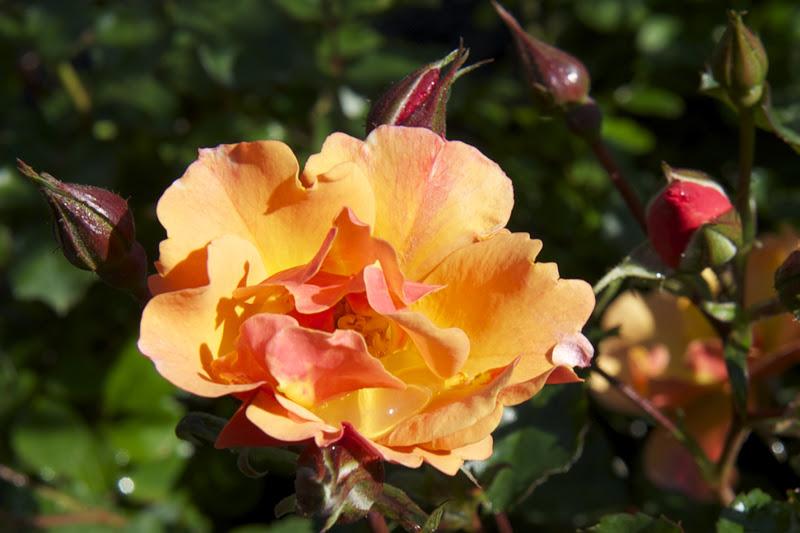 Bartoli garden progettare il giardino come scegliere le - Rampicanti a crescita rapida ...