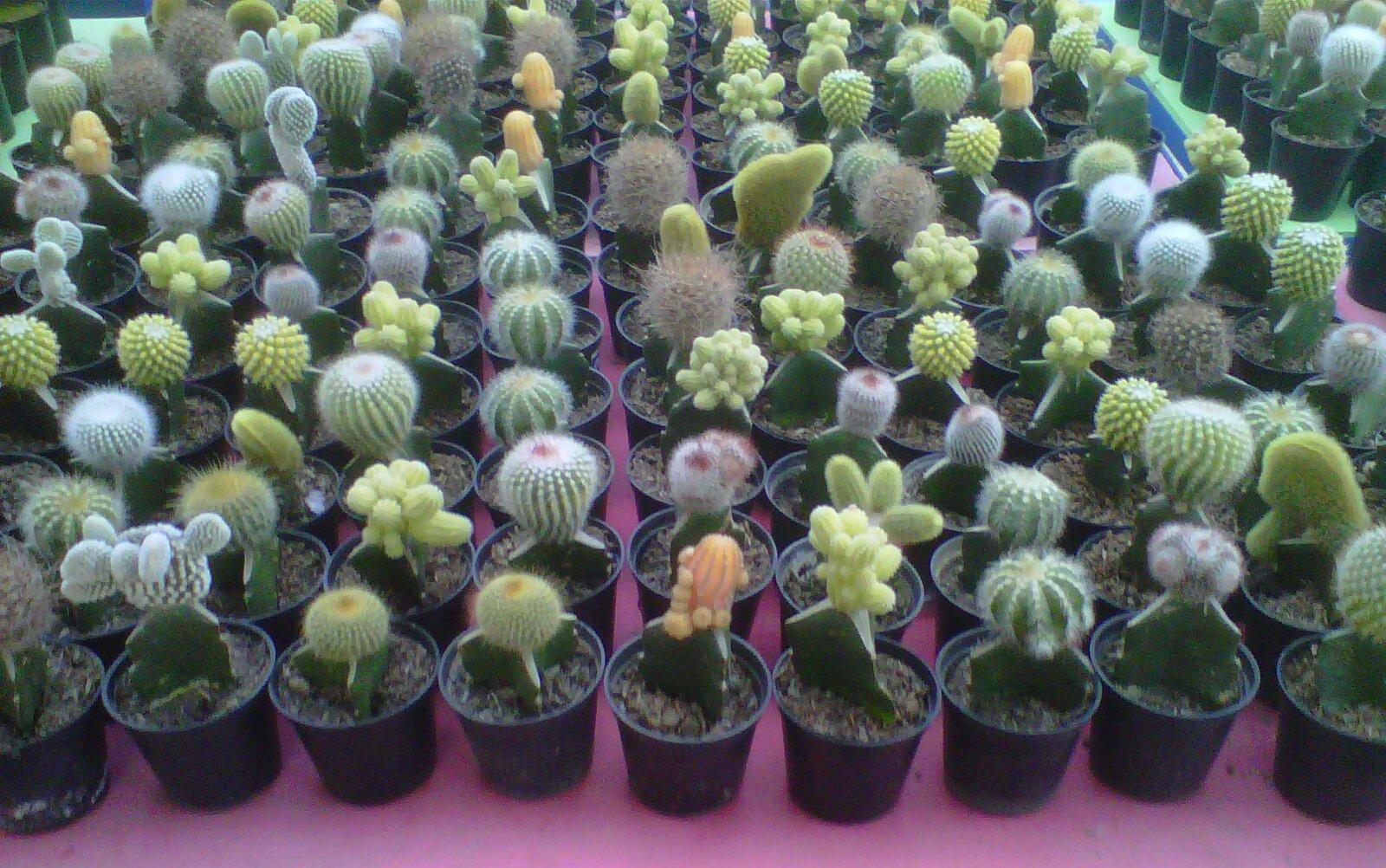 adjie kaktus green house adjie kaktus. Black Bedroom Furniture Sets. Home Design Ideas