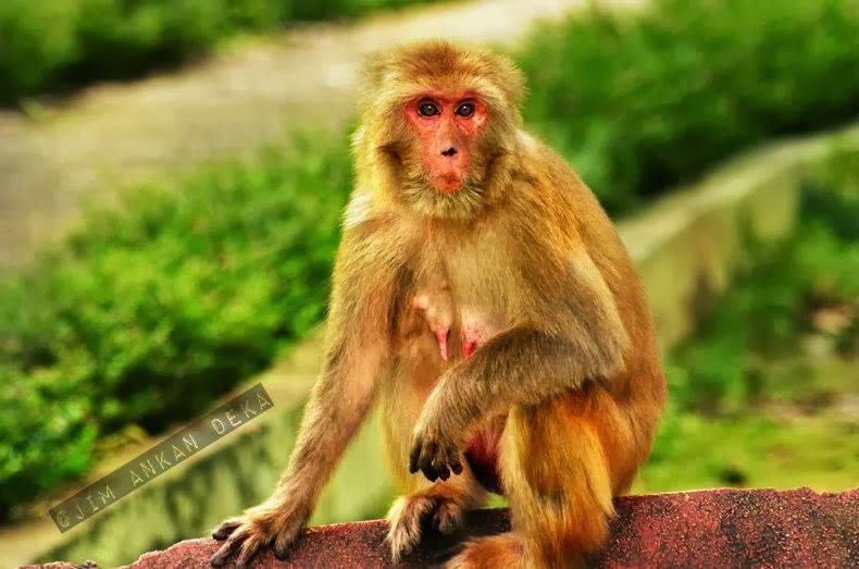 An Indian monkey (bandar) at Malsi Deer Park (photo - Jim Ankan Deka)
