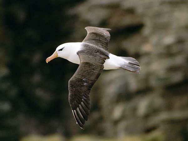Albatross,Oligocene,Animalia,Chordata,Aves,Neornithes,Neoaves,Diomedea, Thalassarche, Phoebastria, PhoebetriaProcellariiformes,Diomedeidae,