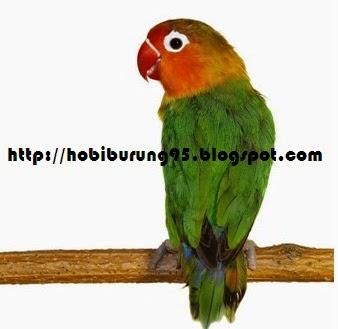 Perawatan Burung Lovebird Supaya Gacor