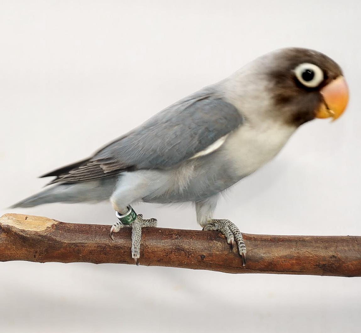 lovebird cobalt perso burung labet