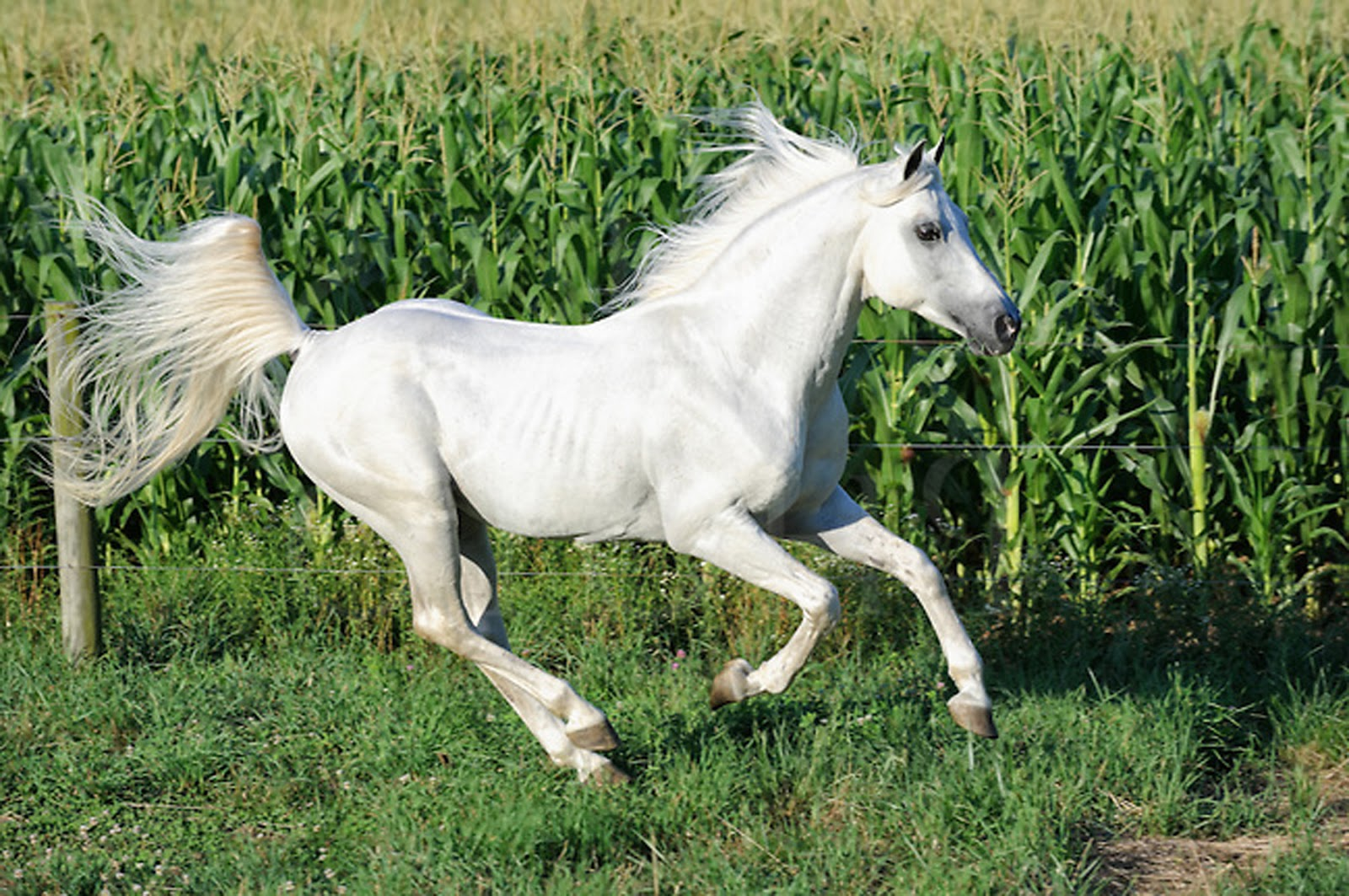 White running horses - photo#9