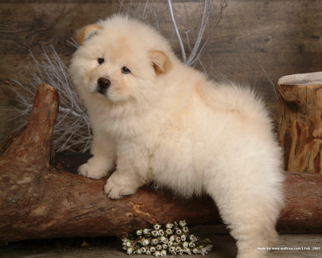 http://1.bp.blogspot.com/-xaY2jeAapSo/T-ICxeZ3YxI/AAAAAAAAA1E/dKmFgEGbqrg/s1600/Chow_Chow_dog_wallpaper_85047.jpg