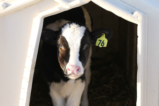 sweet calf faces at Whispering Pines dairy farm, Elroy, WI