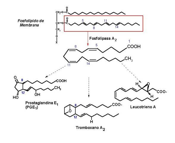Bioquímica: Metabolismo del ácido araquidónico