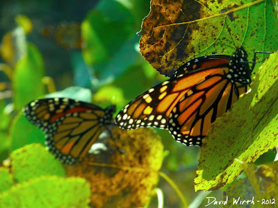 Migrating Monarch Butterflies, thousands on trees, Canada, Mexico