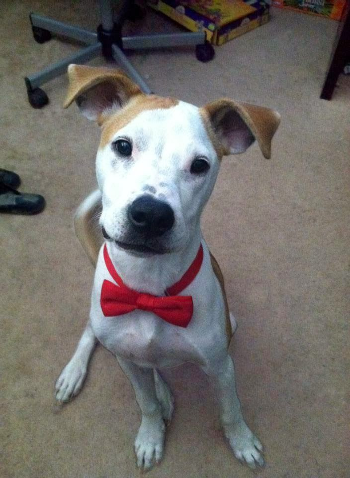 Cute dogs - part 7 (50 pics), dog wears bowtie