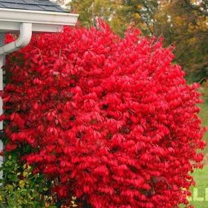Wszystko o ogrodach trzmielina oskrzydlona wyj tkowy krzew pi knie prezentuj cy si zim - Arbusti da giardino sempreverdi ...