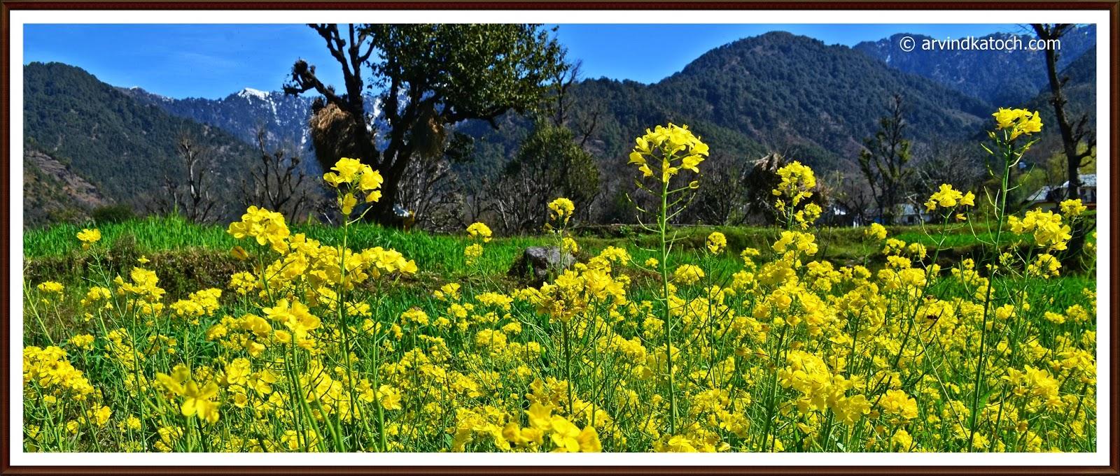 Mustard flowers, Yellow Mustard flower, Himachali village, Dhauladhar hills