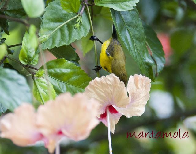 Sunbird robbing