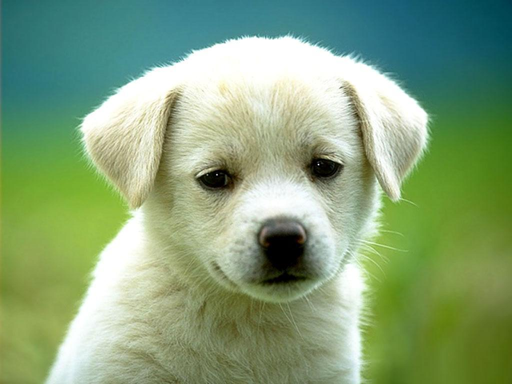 Funny Animals Zone Cute White Puppies New Pictures 2012