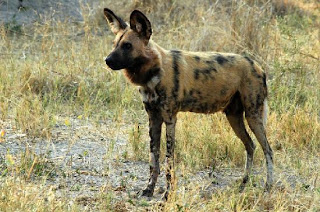 dangerous african painted dog