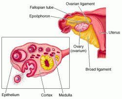 Apa Itu Ovarium? Anatomi dan Fungsinya!