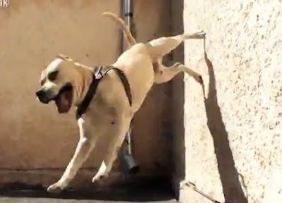 perrito que trepa por las paredes