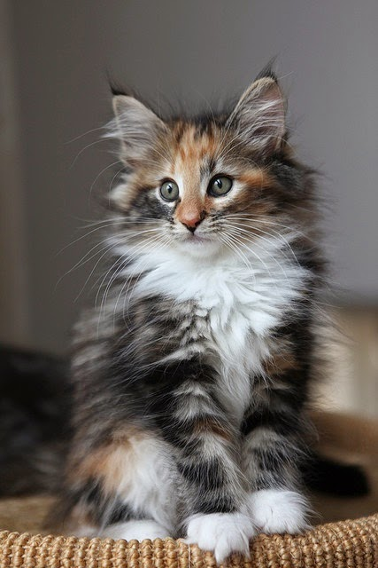 Top 5 Long Haired Cat Breeds