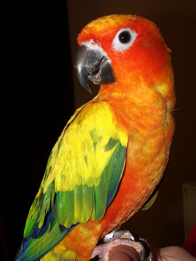 information about parrot bird This species is great choice for those who want to step up to a mid-size parrot, and their popularity as pets is increasing due to their loyal following and increased availability.
