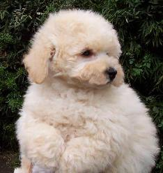 Cute Poodle Puppy Pictures