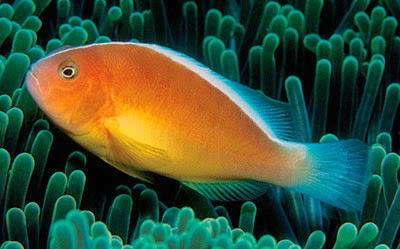 ปลาการ์ตูนอินเดียน
