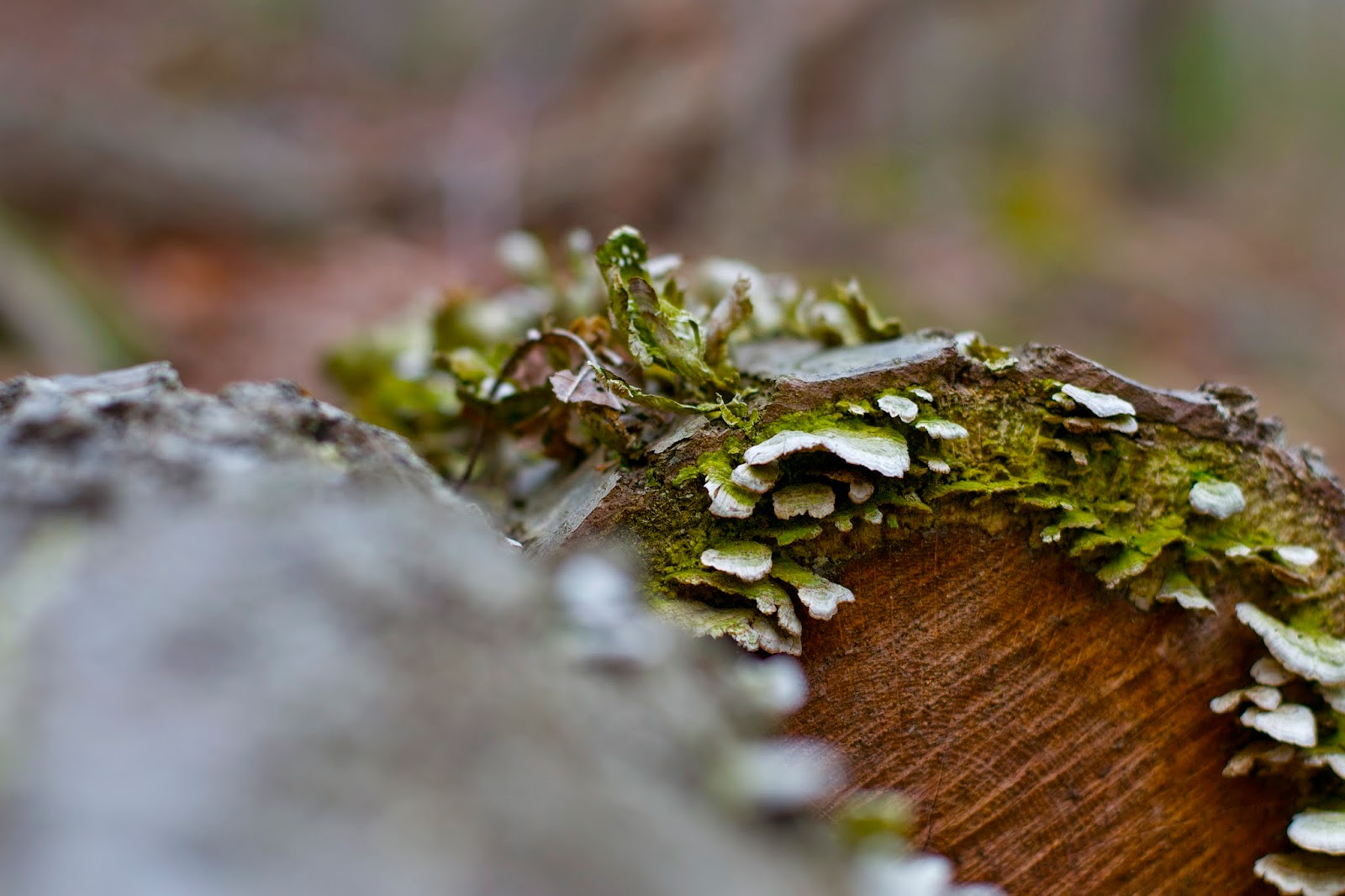 More turkey tails, past their prime and with moss starting to take over, on a fallen log.