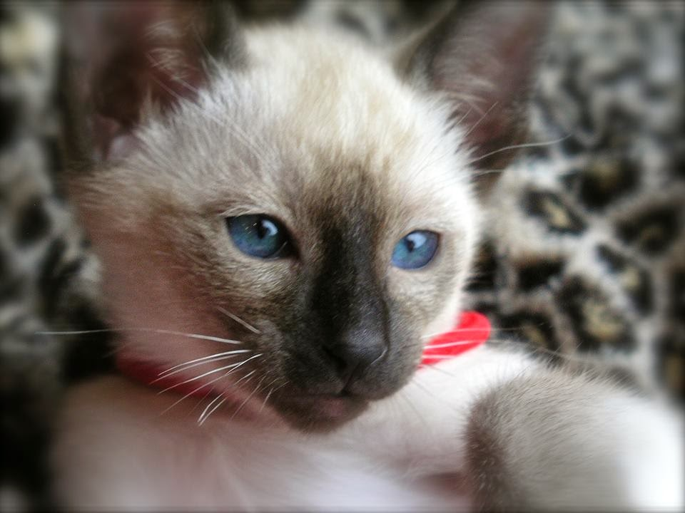 Seal Point Siamese girl from Carolina Blues