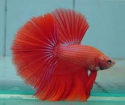 Ikan Cupang cantik