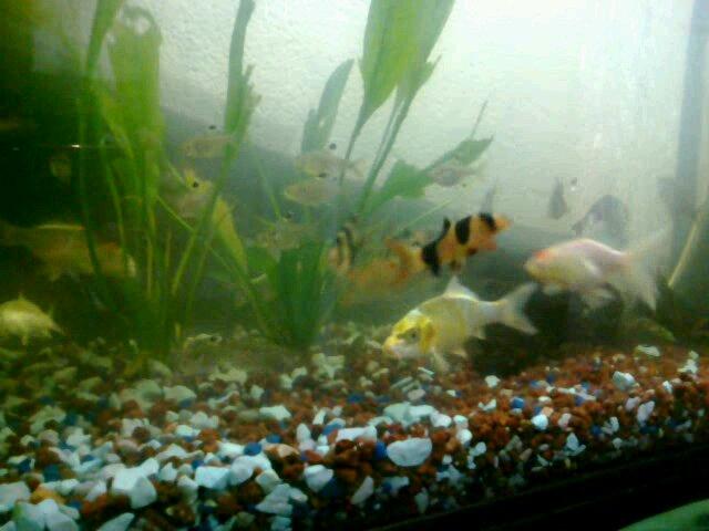 Acuarios y peces de agua dulce for Cuidados acuario agua fria