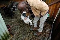 Gull goats Nathaniel Rappole