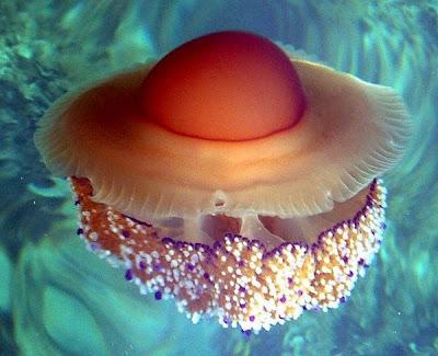 Những loài sứa tuyệt đẹp