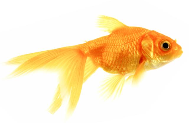 Gold fish 7