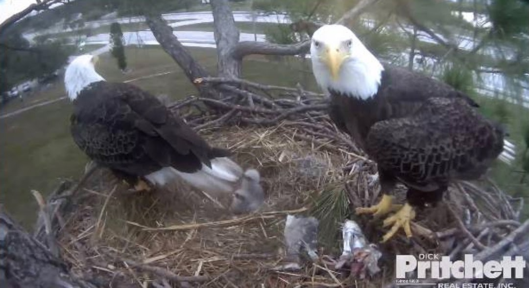 This is a still photo from the Southwest Florida Live Eagle Cam.