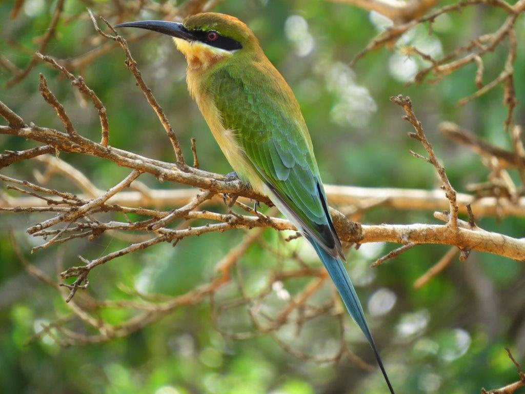 Blue Tailed Bee Eater Sri Lanka Blue-tailed Bee-eater