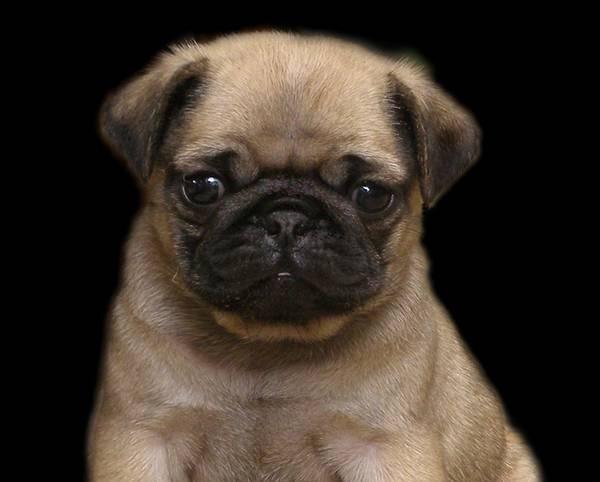 Pug Dog History