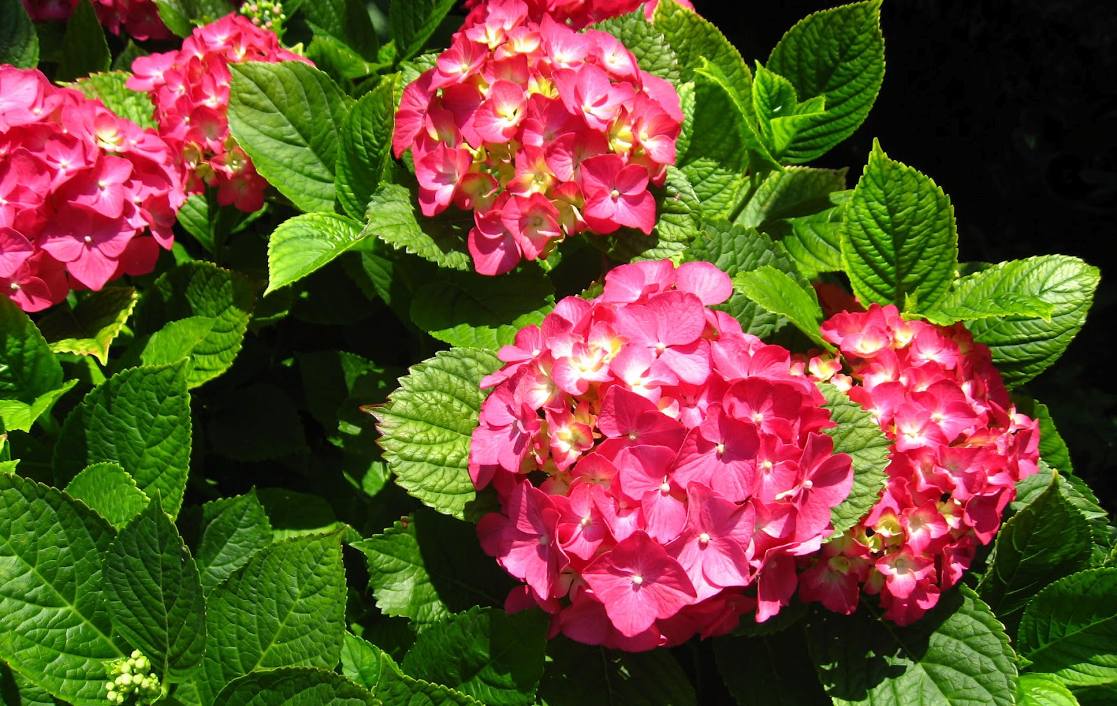 Flowers for flower lovers hortensia flowers for Colore ortensia