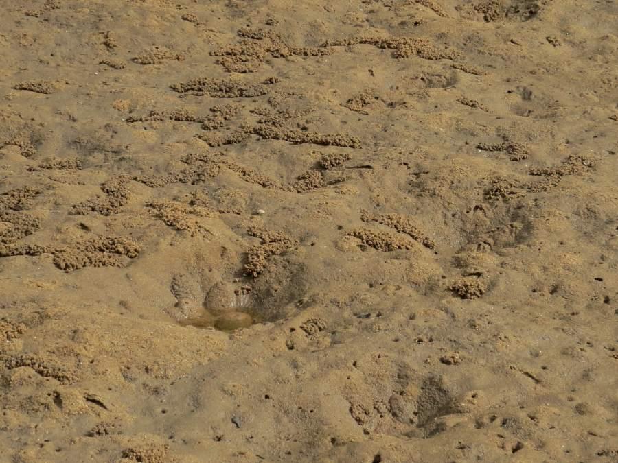 Mictyris longicarpus habitat