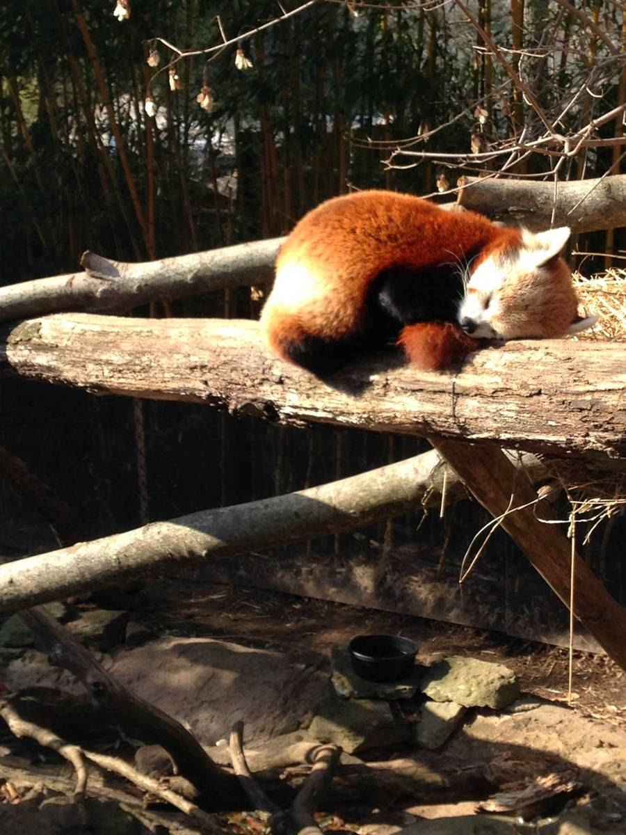 Funny animals of the week - 31 January 2014 (40 pics), cute sleeping red panda