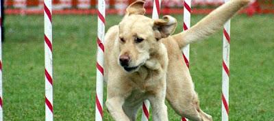 boxer-dog-training-techniques
