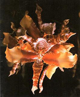 Одонтоглоссум большой