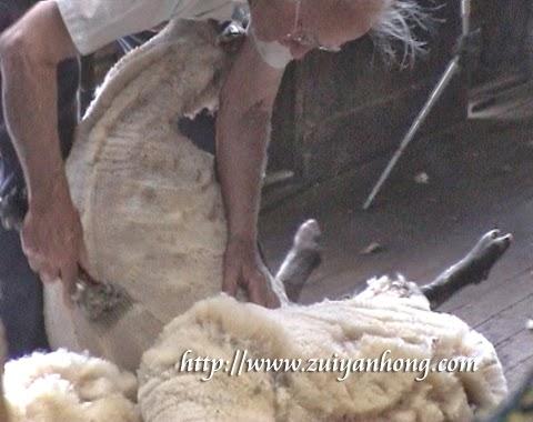 Shearing Wool