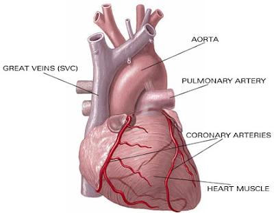 Bagian-bagian jantung dan fungsinya