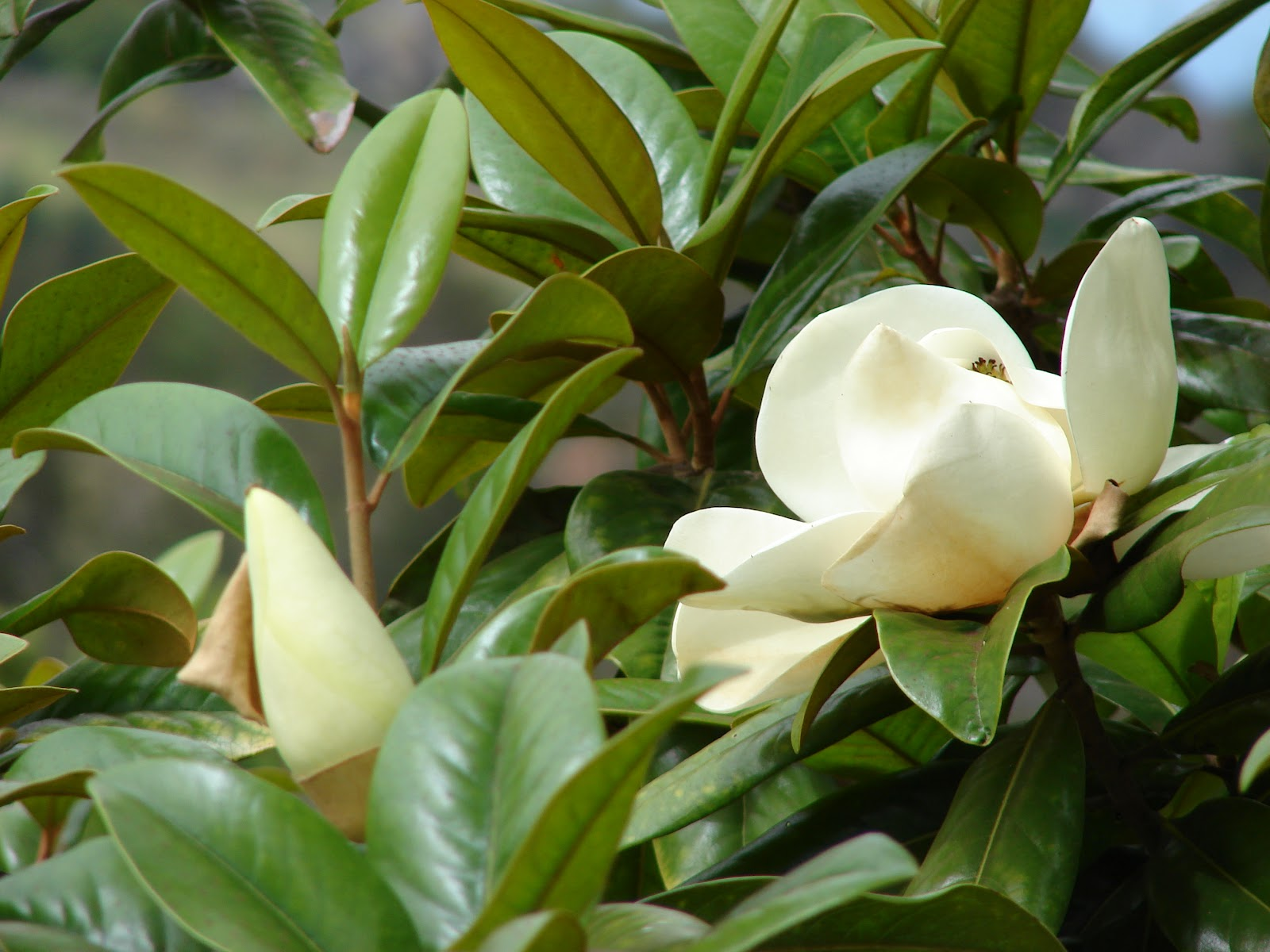 Arte y jardiner a magnolio magnolia grandiflora for Arboles de hoja perenne para jardin
