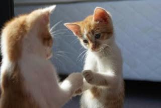 kitten looking in mirror