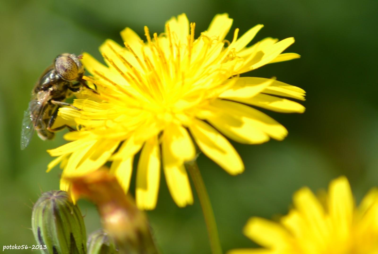 Recolecta de polen de una abeja