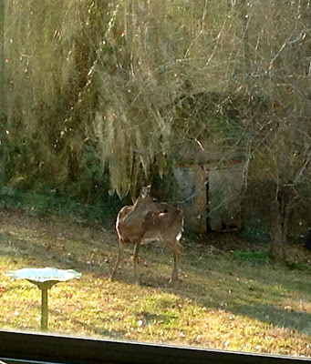 doe in the yard