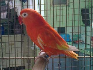 lovebird merah warna istimewa red suffusion ini adalah burung lovebird