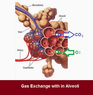 Alveoli Gaseous Exchange | Chapter-6 Life  Processes | CBSE Class 10 Scienc